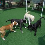 four dogs playing chase on astroturf
