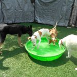 four dogs play in a pool