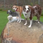 four dogs on a rock
