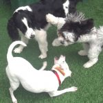 three dogs playing on astroturf