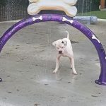 white dog playing at the water park