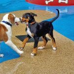 dogs playing in the splashpad area
