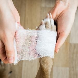 Putting a bandage on a dog's paw
