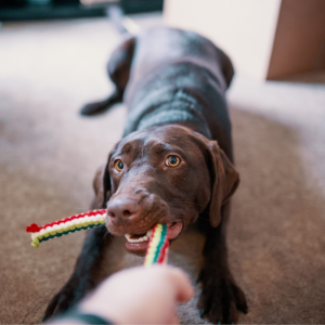 brown dog playing with toy