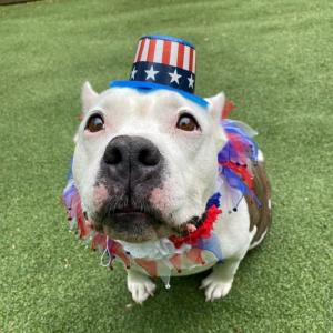 dog celebrating memorial day