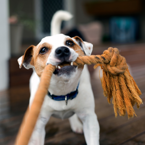 dog chewing on rope