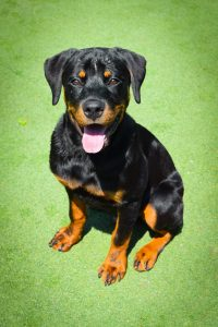 black and brown dog